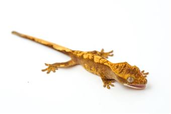 Crested Gecko (Various Morphs)