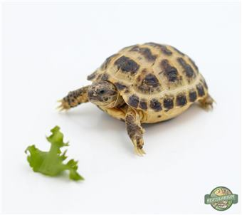 Russian (Steppe) Tortoise